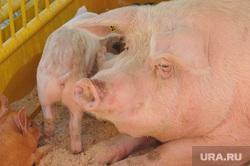 Сельское хозяйство. Животные. Челябинск, свинья