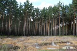 Вырубка леса КГСХА Курганская область, фундамент, место под застройку, сосновый бор